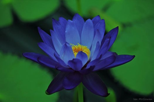 Lotus blue . by 999999999a