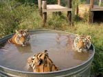 lulz real-life tiger bucket by strudelmuffin
