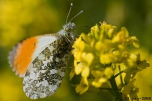 Male Orange tip butterfly by Slinky-2012