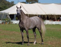 TW Arab Grey looking at camera front/side by Chunga-Stock