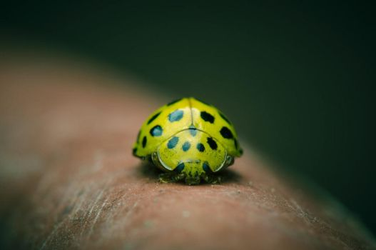 Yellow Lady Bug shield  position by LeonardRou