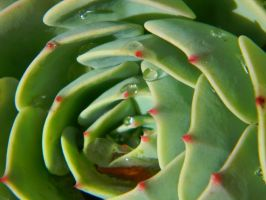 dewy succulent by snoboarderEm