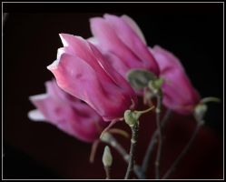 Pink Spring 2 by kanes