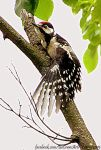 Woodpecker by BeCrew