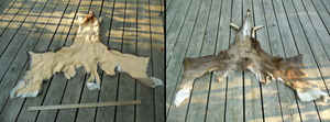 Taxidermy Quality Whitetail Deer Cape by Saceronsage