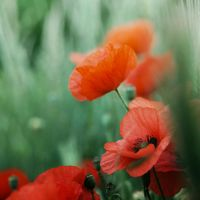 Poppy by pauline-greefhorst