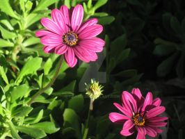 African Daisy by ChairJ