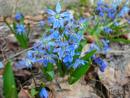 Siberian Squill by Tformer