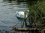 Mute Swan I by DundeePhotographics