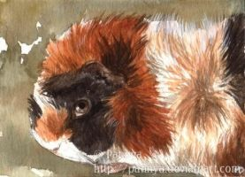 Abyssinian Guinean Pig ACEO by Pannya