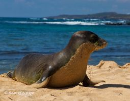 Hawaiian Seal by 1shotaway