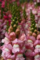 Snapdragons by TheDevlyn