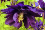 Alpine Columbine Bending Down. by JocelyneR