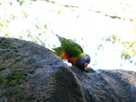 Rainbow Lorikeet and Water by Saston