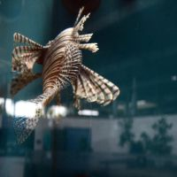 lionfish by sandpiper764