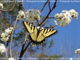 Tiger Swallowtail by VGAce