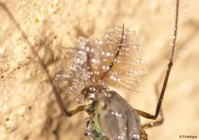 Chironomid by Prototyps