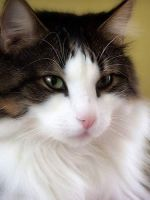 Norwegian Forest Cat by CroftMan93