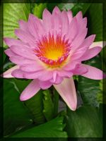 water lily by maska13