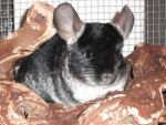 my chinchilla by MikaLove1997