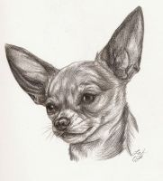 Rylie the Chihuahua by Rabastan