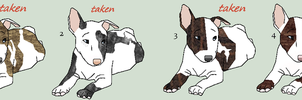 Little Bullies SOLD by Windhaven-Kennel