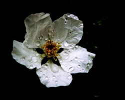 Rain On Petals by AndrewCarrell1969