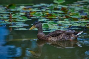 Duck 01 by NellyGrace3103