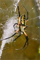 Black and Yellow Garden Spider by DingoDogPhotography