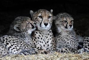 Three Cheetahs by SnowPoring