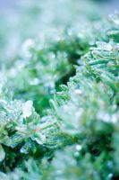Frozen Evergreens by danlev
