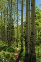 Aspen Lined Hiking Trail by mjohanson