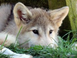 Timber Wolf Pup - 3 Months Old by lenslady