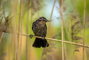 Female Red-winged Blackbird by FoldedWilderness