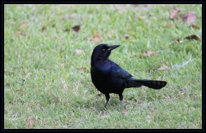 Young Grackle by SalemCat