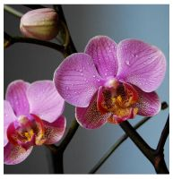 Phalaenopsis by aizea