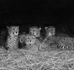 Cheetah Family by gee231205