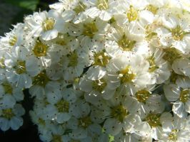 Baby's Breath close-up by BlueIvyViolet