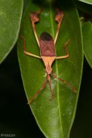 Leaf footed bug by CyclicalCore