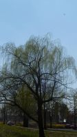 Weeping Willow by FallenAngel1059