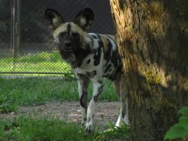 African Wild Dog 02 by animalphotos