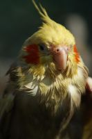 Wet Cockatiel by little--grasshopper