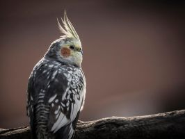 Budgie On A Branch by InayatShah