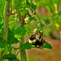 Bumble-bee on a blackcurrant flowers by madlynx