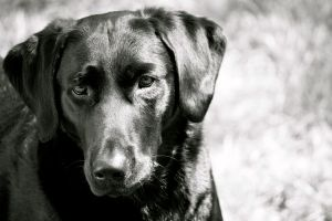 Black Lab by theatregleek