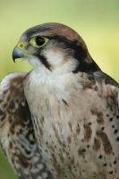 Hardy - Male Lanner Falcon by Amazonofexeter