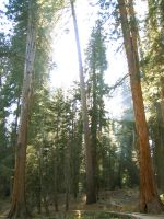 Redwood Forest 1 by Dori-Stock
