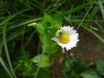 Little white daisy by SlayerS007