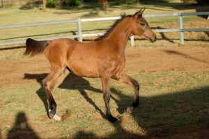 JA Arab yearling bay trot legs up by Chunga-Stock