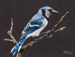 Blue Jay by whispwill